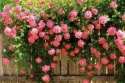 Фото 1 Вьющиеся розы (59 фото): уход за аристократической красавицей