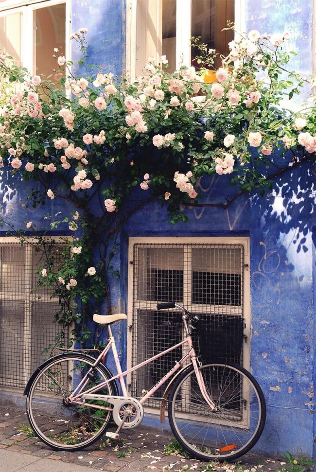 """Кремовая роза с побегами расположенными """"веером"""""""