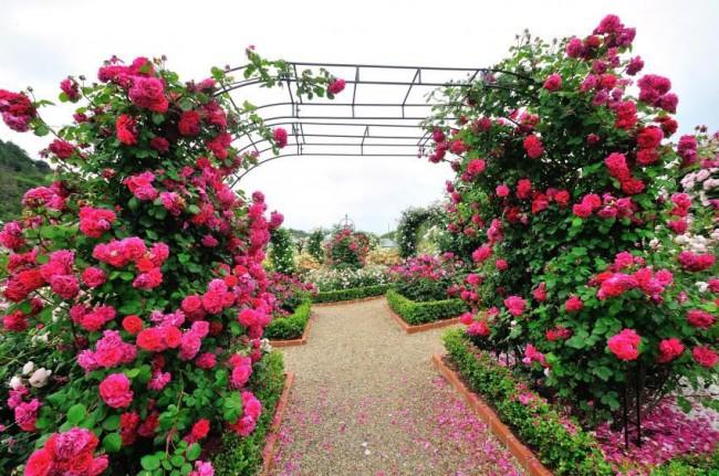 Вьющиеся розы незаменимы для ландшафтного дизайна