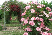 Фото 20 Вьющиеся розы (59 фото): уход за аристократической красавицей