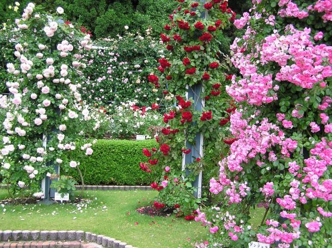 Плетущиеся розы имеют очень много красивых гибридных сортов