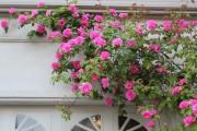 Фото 21 Вьющиеся розы (59 фото): уход за аристократической красавицей