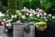 Фото 22 Вьющиеся розы (59 фото): уход за аристократической красавицей