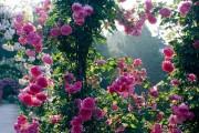 Фото 23 Вьющиеся розы (59 фото): уход за аристократической красавицей