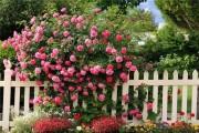 Фото 25 Вьющиеся розы (59 фото): уход за аристократической красавицей
