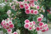 Фото 28 Вьющиеся розы (59 фото): уход за аристократической красавицей
