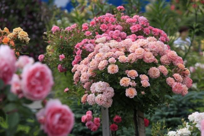 Если вы мечтаете об оригинальных преобразованиях на участке, обязательно разведите плетистые розы