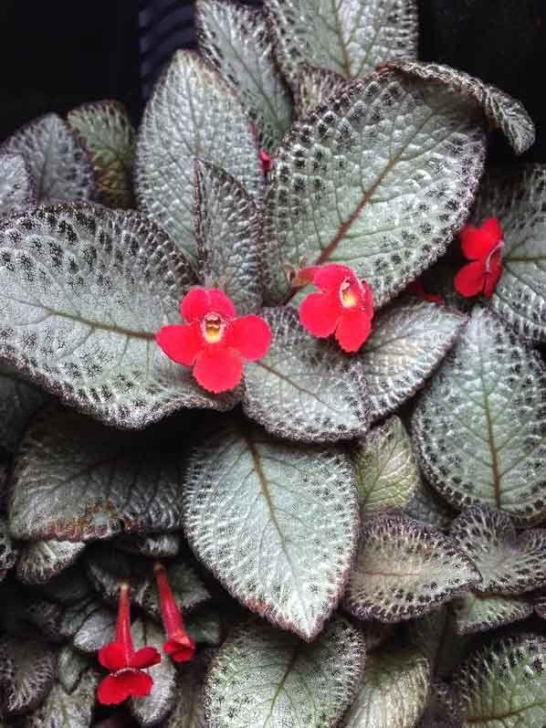 Эпиция - очень красивое, но привередливое растение