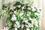 Фото 1 Вьющиеся комнатные растения: великолепная семерка