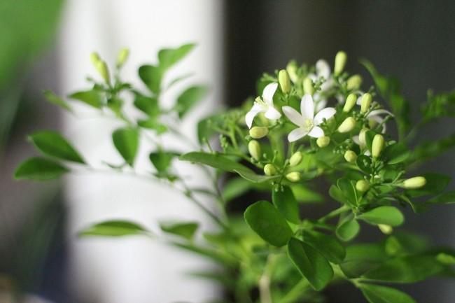 Любители комнатных растений, которые не имеют садового участка, могут с легкостью выращивать жасмин в квартире