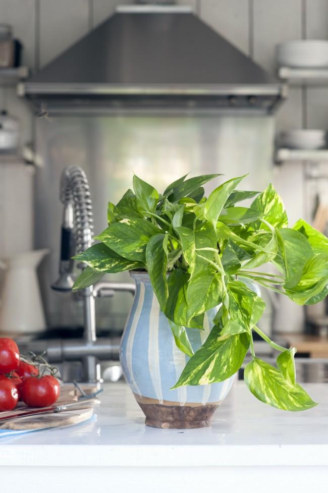 Сциндапсус пятнистый в интерьере кухни