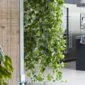 Вьющиеся комнатные растения: великолепная семерка фото
