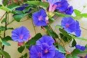 Фото 18 Вьющиеся комнатные растения: великолепная семерка