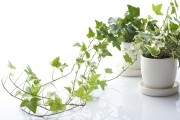 Фото 19 Вьющиеся комнатные растения: великолепная семерка