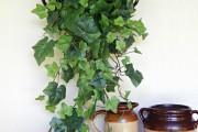 Фото 20 Вьющиеся комнатные растения: великолепная семерка