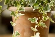 Фото 6 Вьющиеся комнатные растения: великолепная семерка