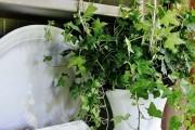 Фото 23 Вьющиеся комнатные растения: великолепная семерка