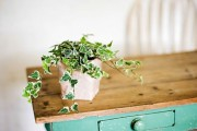 Фото 26 Вьющиеся комнатные растения: великолепная семерка