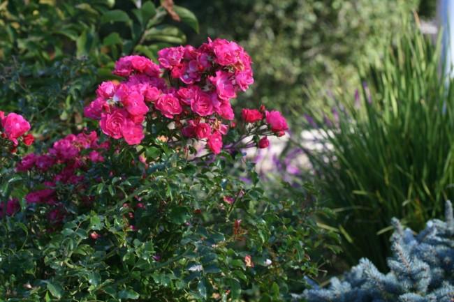"""Коммерческий сорт садовых роз """"Flower carpet"""""""