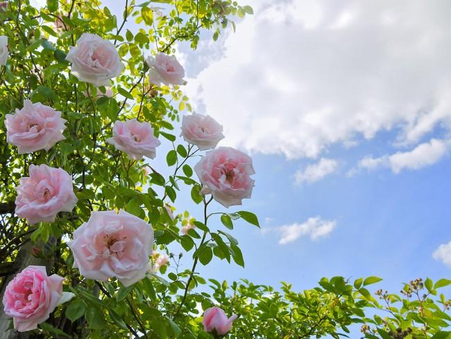 Дэвид Остин (англ. David C.H. Austin, род. 1926) - английский селекционер роз, избравший своей специализацией создание сортов, имеющих некоторые черты и аромат старинных садовых роз