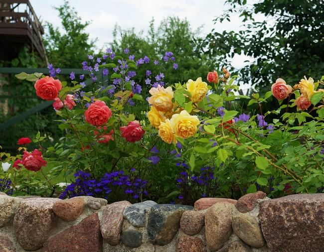 Передний план миксбордера - лучшее место для кустарниковых роз Остина
