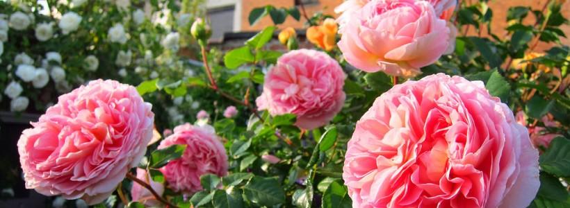 Английская роза (55 фото): новая старинная аристократка
