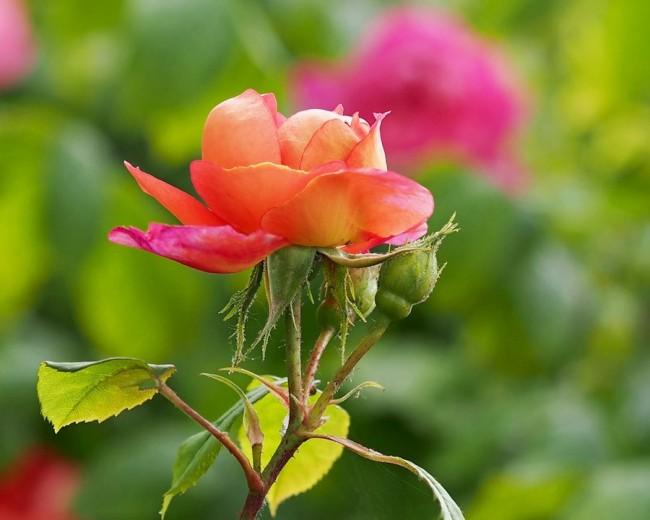 """Сорт """"Бенджамин Бриттен"""" относится к шрабам (англ. Shrub). Высота всего растения обычно до 1.2 м. Ширина около 70 см. Цветки 10—12 см в диаметре, красно—оранжевые, одиночные или собранные в малоцветковые соцветия. Сорт устойчив к дождю. Аромат интересный: сильный, фруктовый, с оттенками вина и грушевых леденцов. Цветение - повторяющееся."""