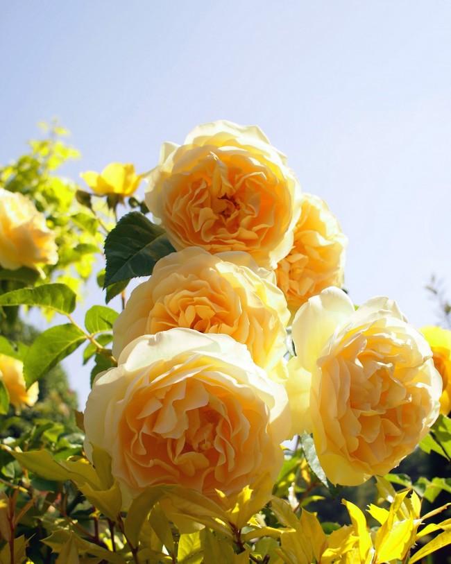 В холодном климате розы Graham Thomas вырастают только до 150 см, в жарких же странах выпускают очень длинные побеги 250-300 см, и их можно пустить по опоре. В целом их принято относить к коротким климберам