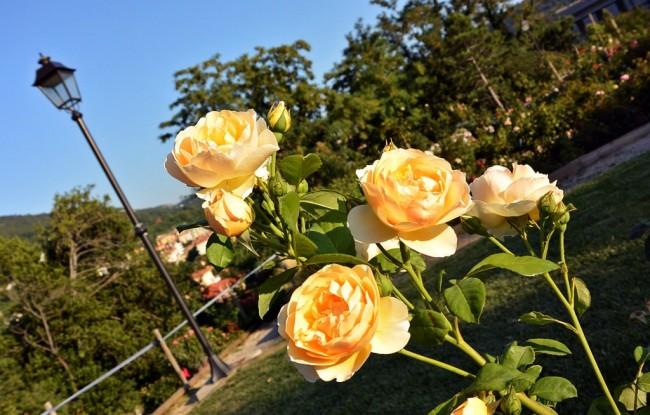 """Нежно-желтая английская роза """"Graham Thomas"""""""