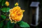 Фото 27 Английская роза (55 фото): новая старинная аристократка