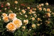 Фото 22 Английская роза (55 фото): новая старинная аристократка