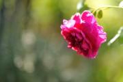 Фото 23 Английская роза (55 фото): новая старинная аристократка