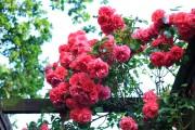 Фото 26 Английская роза (55 фото): новая старинная аристократка