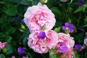Фото 6 Английская роза (55 фото): новая старинная аристократка