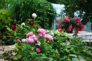 Фото 14 Английская роза (55 фото): новая старинная аристократка