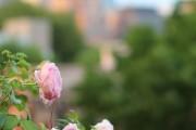 Фото 10 Английская роза (55 фото): новая старинная аристократка