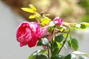Фото 3 Английская роза (55 фото): новая старинная аристократка