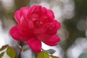 Фото 11 Английская роза (55 фото): новая старинная аристократка