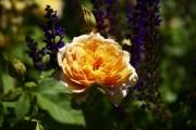 Фото 19 Английская роза (55 фото): новая старинная аристократка