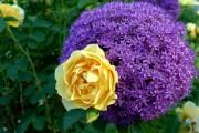 Фото 9 Английская роза (55 фото): новая старинная аристократка