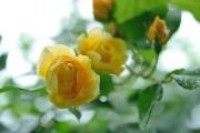 Фото 13 Английская роза (55 фото): новая старинная аристократка
