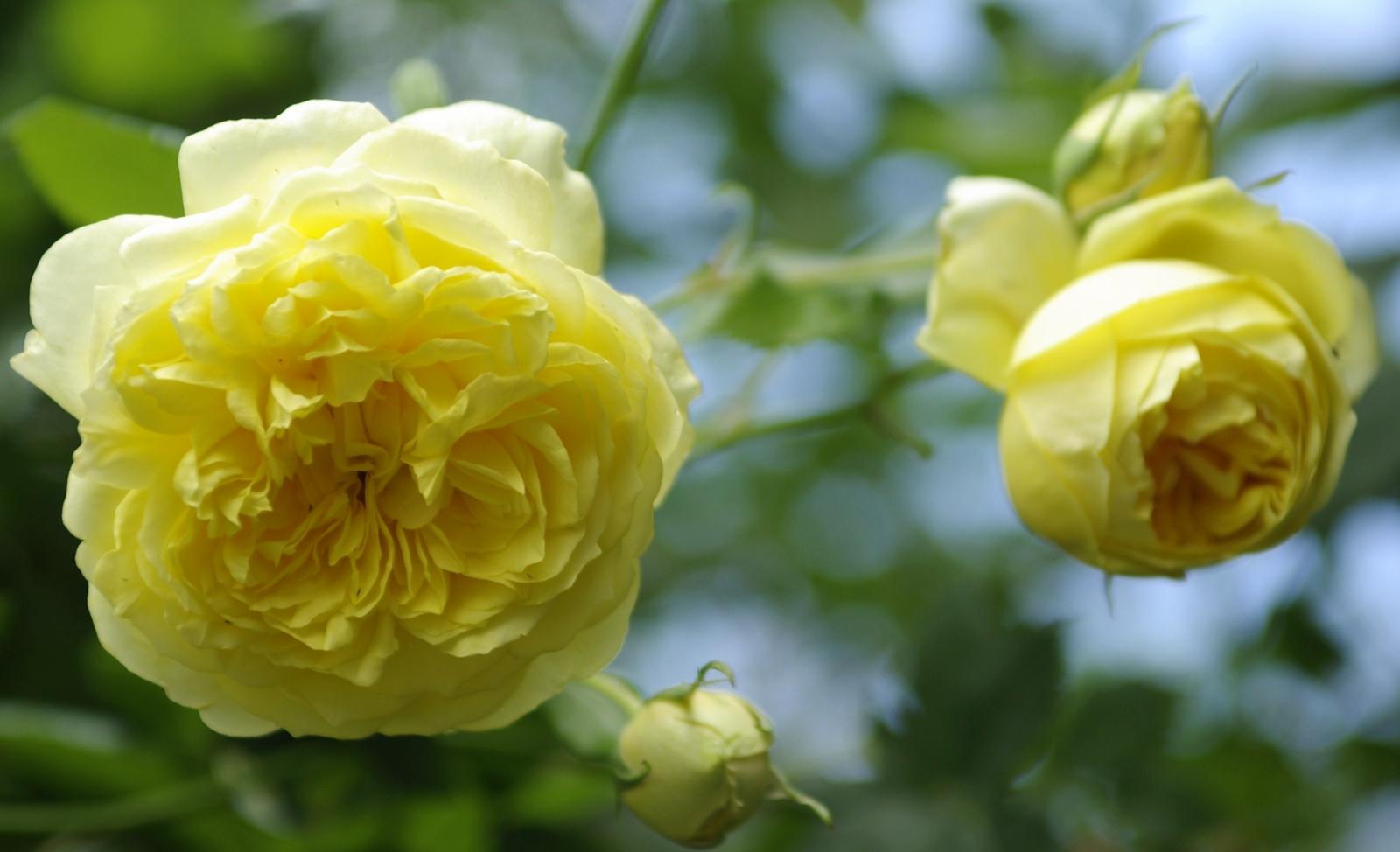 Роза английская выращивание и уход в 235