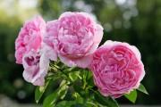 Фото 1 Английская роза (55 фото): новая старинная аристократка