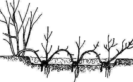 Рис. 1. Размножение вьющейся розы отводами.