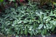 Фото 16 Тропическая красавица строманта: Правила ухода в домашних условиях 40+ фото