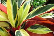 Фото 8 Тропическая красавица строманта: Правила ухода в домашних условиях 40+ фото
