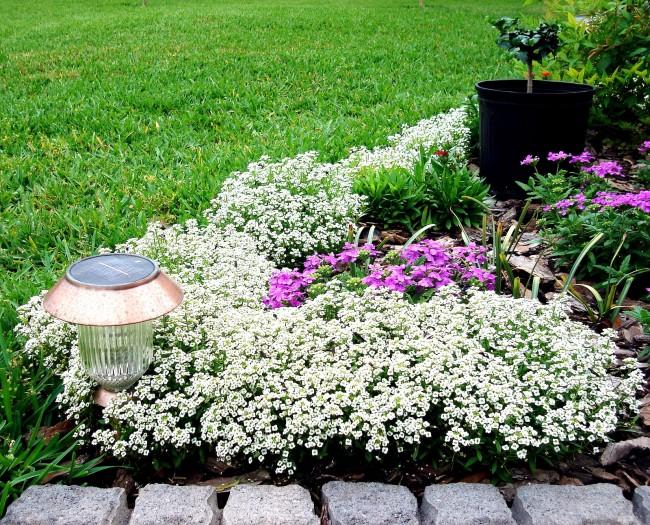 Аромат цветков – очень сильный медовый