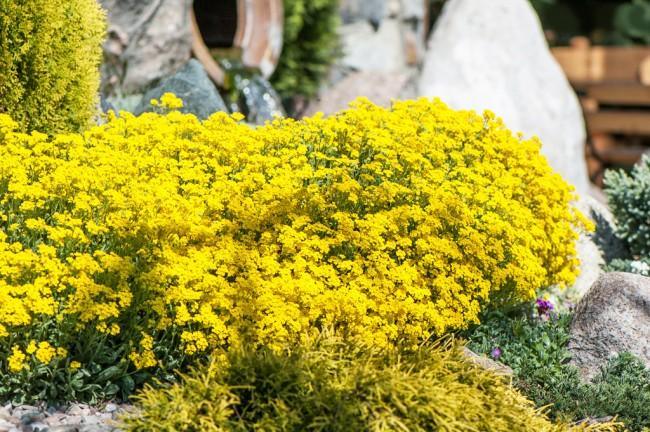 С желтыми цветами в ваш сад приходит солнце