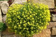 Фото 10 Цветы алиссум : всё, что нужно знать о посадке, выращивании и уходе 50+ фото