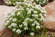 Фото 9 Цветы алиссум : всё, что нужно знать о посадке, выращивании и уходе 50+ фото
